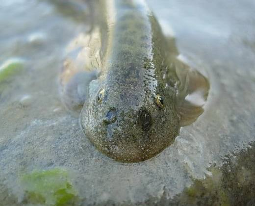 巴鱼,学名:中华爬岩鳅