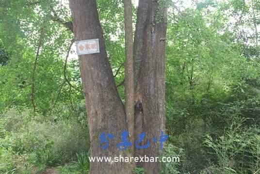 乌龙垭村母子白果树(又名合家欢)