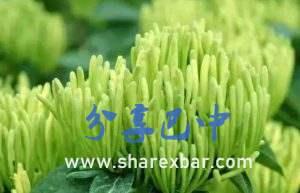 南江金银花